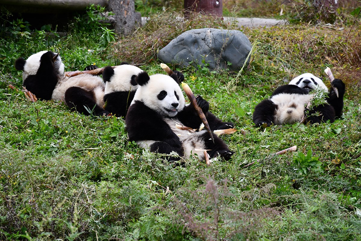 Panda in Wolong | Photo par Liu Bin